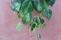 Philodendron-scandens-R-nel-bosco