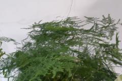 asparagus-setaceus-R-nel-bosco