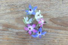 piccolo-seeds-22_borago_2_