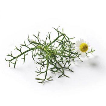semi piccolo seeds fiori eduli camomilla - R nel bosco