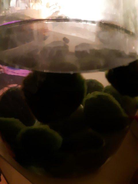 marimo - come prendersi cura di un'alga palla - R nel bosco