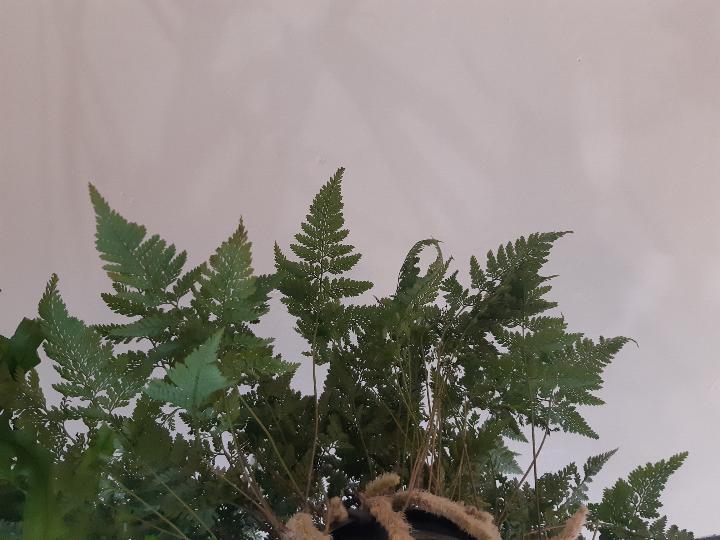 piante sospese - R nel bosco - davallia