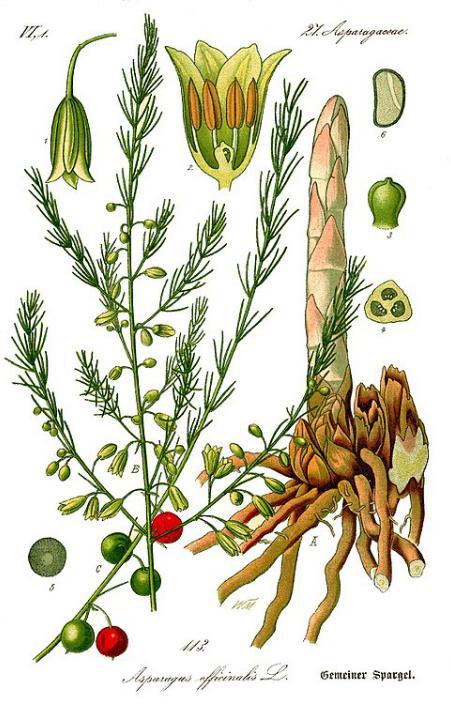 orticole perenni balcone - R nel bosco - asparago