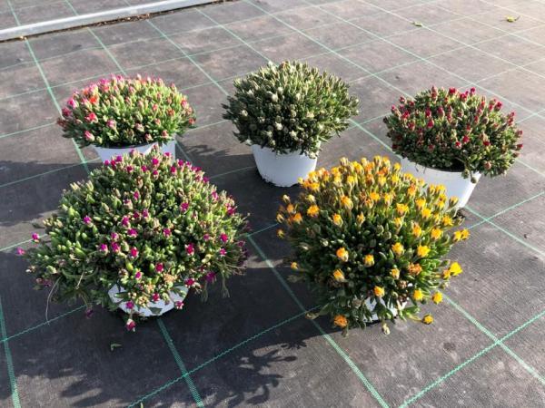 piante da fiore da esterno - R nel bosco - delosperma