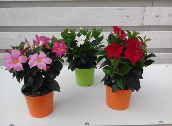 piante da fiore da esterno - R nel bosco - dipladenia mandevilla