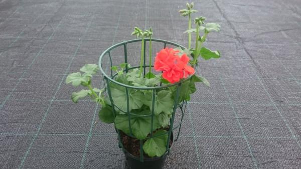 piante da fiore da esterno - R nel bosco - geranio edera