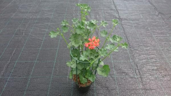 piante da fiore da esterno - R nel bosco - geranio parigino