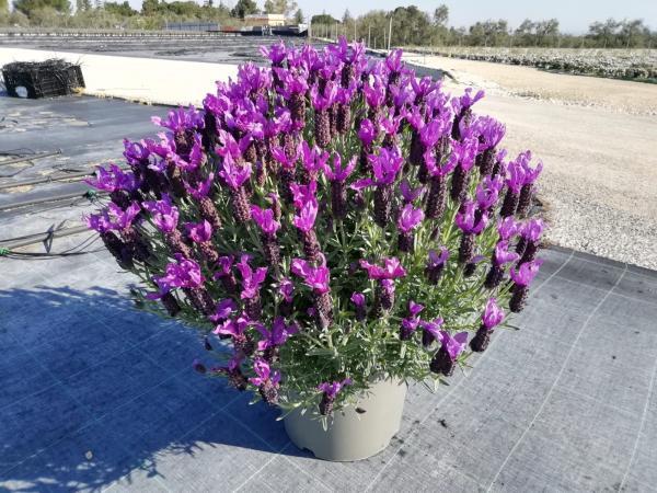 piante da fiore da esterno - R nel bosco - lavanda stoechas