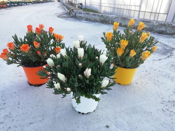 piante da fiore da esterno - R nel bosco - mesembriantemo