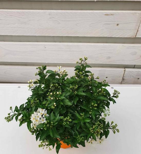 piante da fiore da esterno - R nel bosco - solanum