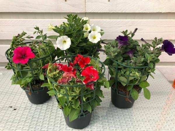 piante da fiore da esterno - R nel bosco - surfinia